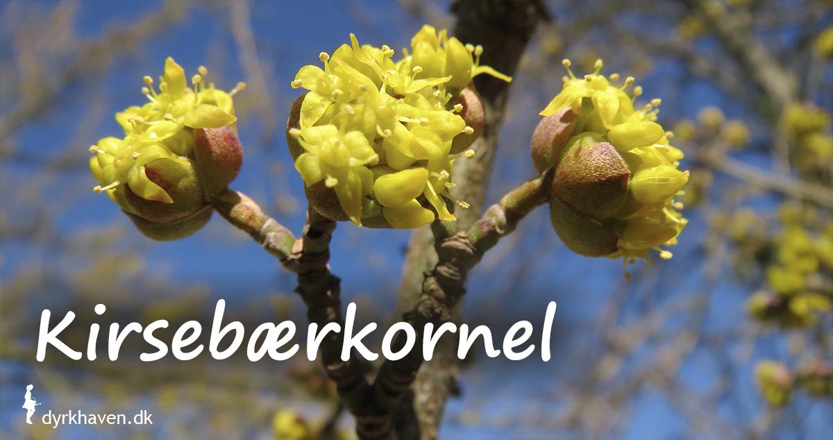 Kirsebærkornel blomstrer sidst på vinteren med små klynger af gule blomster - Dyrkhaven.dk gør det nemt at dyrke have