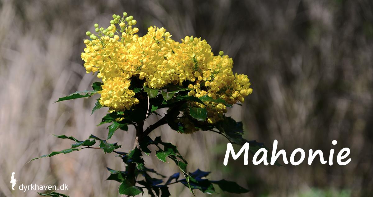 Der skal bare en enkelt blomster på mahonie til at skabe en dramatisk effekt, endnu mere fordi den blomstrer om vinteren - Dyrkhaven.dk gør det nemt at dyrke have