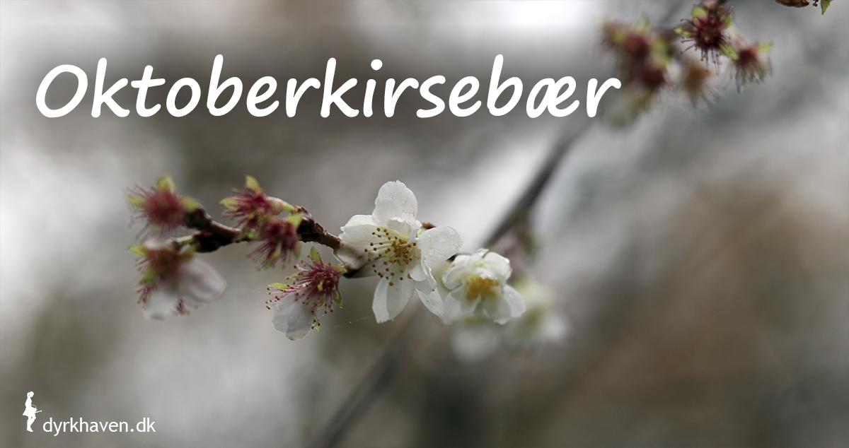 Oktoberkirsebær er noget af det mest overraskende og yndige, som blomstrer i vinterhaven - Dyrkhaven.dk gør det nemt at dyrke have