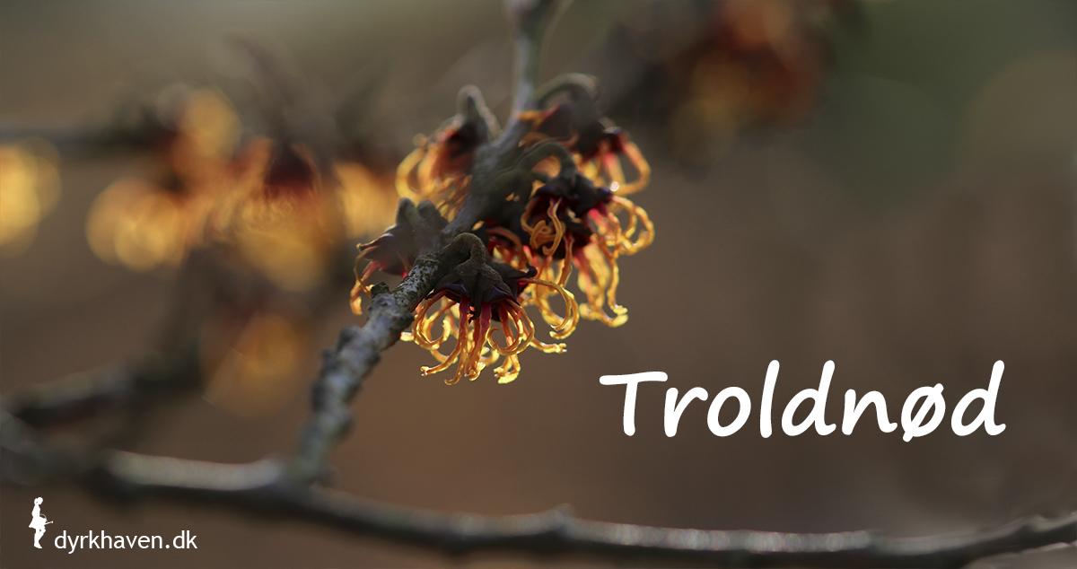 Troldnød blomstrer med sære små gule, orange eller røde blomster midt om vinteren - Dyrkhaven.dk gør det nemt at dyrke have