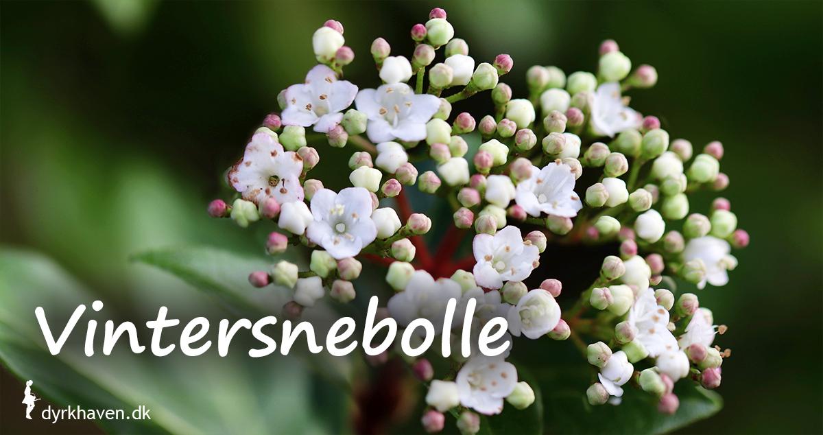 I milde vintre kan vintersnebolle blomstre fra sidst på efteråret til sent på vinteren - - Dyrkhaven.dk gør det nemt at dyrke have