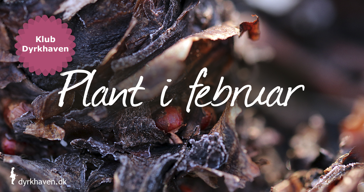 Er februar mild, kan du stadig plante løvfældende buske og træer, rabarber, hvidløg og jordskokker - Klub Dyrkhaven gør det nemt at dyrke have