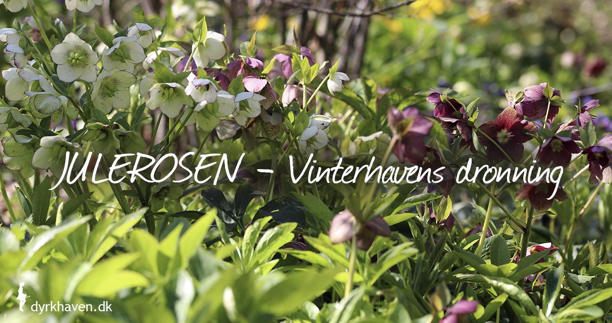 Juleroser er vinterhavens ukronede dronning med sine mange blomster i januar, februar og marts - Dyrkhaven.dk