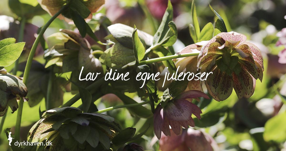 Du kan både dele juleroser og få flere af samme slags og så juleroser fra frø - Dyrkhaven.dk