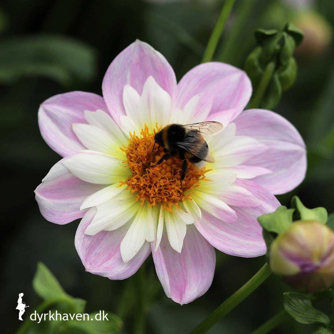 Hvad er en bi-venlig plante?