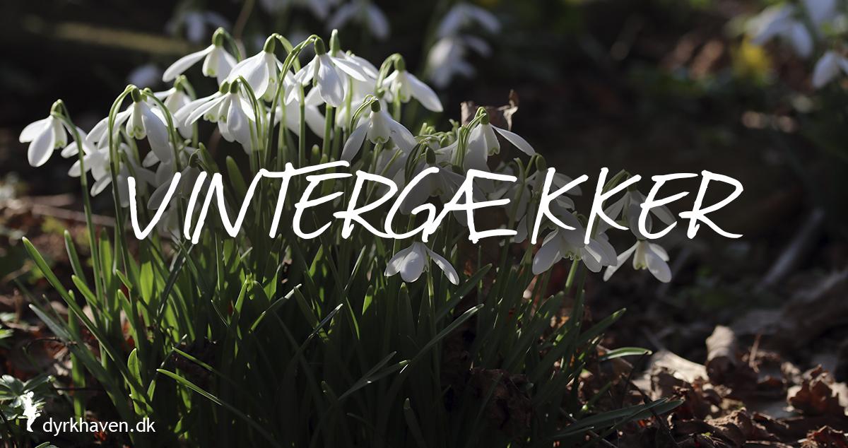 Vintergækker er gode og bi-venlige planter og blomster til de tidlige og første bier om foråret - Dyrkhaven.dk gør det nemt at dyrke have