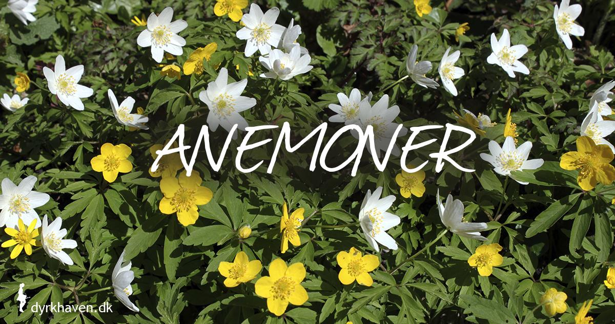 Anemoner er gode og bi-venlige planter og blomster til de tidlige og første bier om foråret - Dyrkhaven.dk gør det nemt at dyrke have