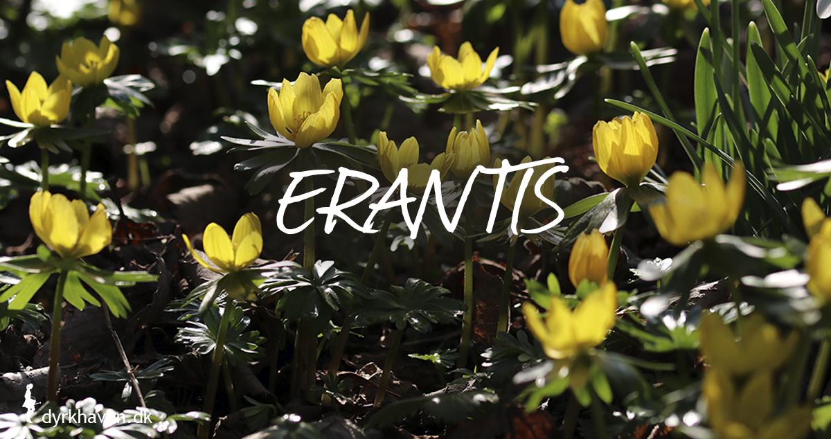 Erantis er gode og bi-venlige planter og blomster til de tidlige og første bier om foråret - Dyrkhaven.dk gør det nemt at dyrke have