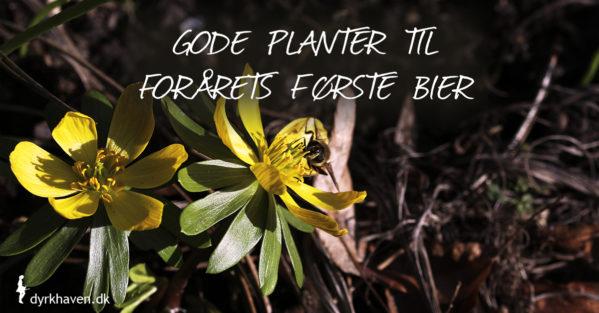 Gode planter og blomster til forårets første bier - Dyrkhaven.dk gør det nemt at dyrke have