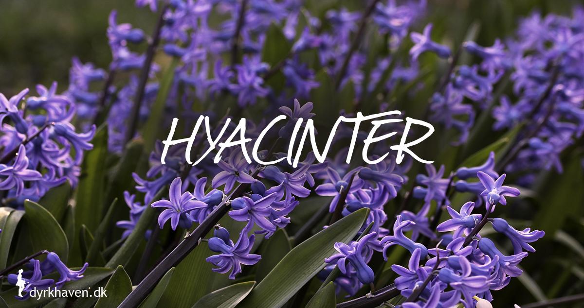Hyacinter er gode og bi-venlige planter og blomster til de tidlige og første bier om foråret - Dyrkhaven.dk gør det nemt at dyrke have