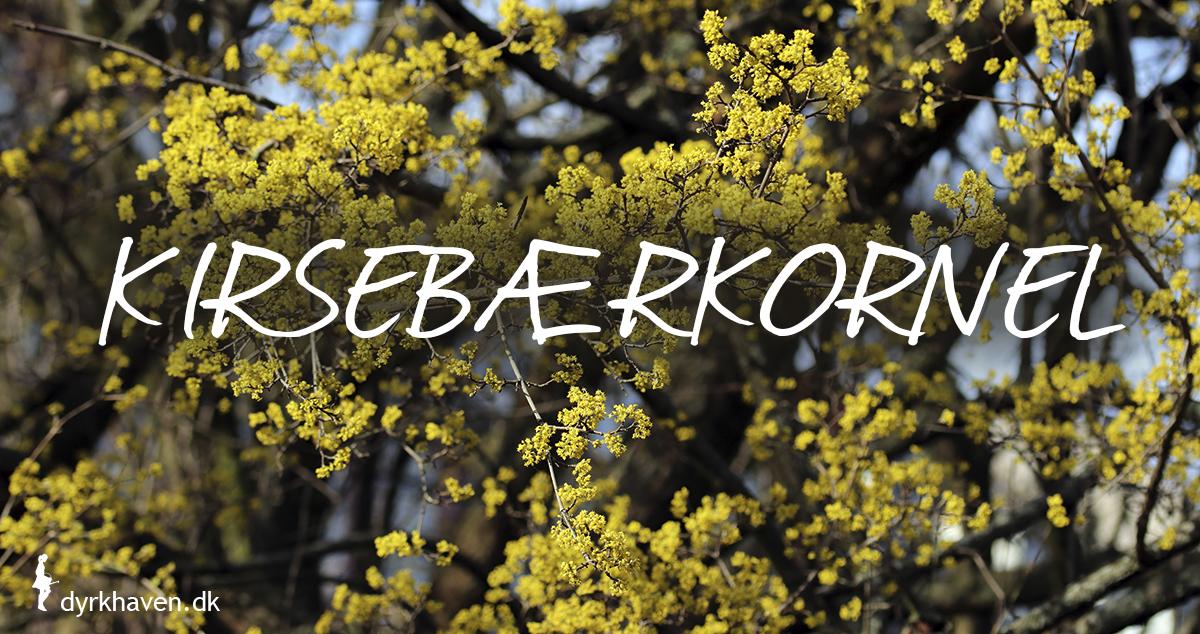 Kirsebærkornel er gode og bi-venlige planter og blomster til de tidlige og første bier om foråret - Dyrkhaven.dk gør det nemt at dyrke have
