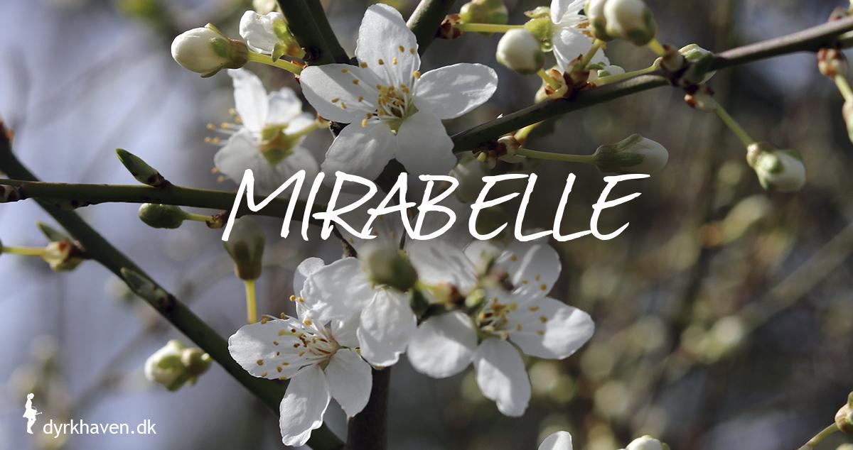Mirabelle er gode og bi-venlige planter og blomster til de tidlige og første bier om foråret - Dyrkhaven.dk gør det nemt at dyrke have