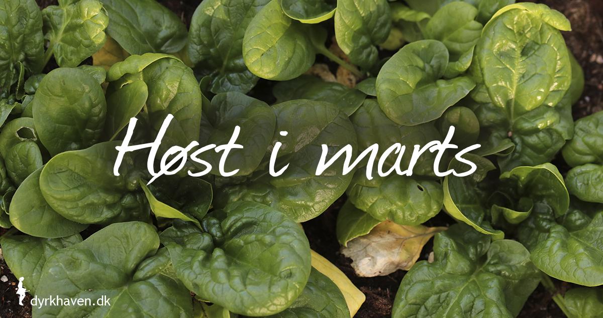 I marts kan du være heldig både at kunne høste vintergrøntsager og nye blade og skud på overvintrede planter - Klub Dyrkhaven gør det nemt at dyrke have