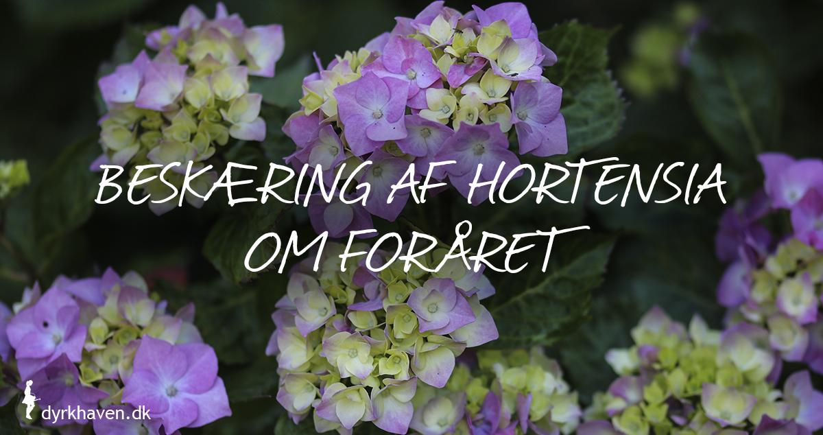 Sådan beskærer du hortensia om foråret - Dyrkhaven.dk gør det nemt at dyrke have