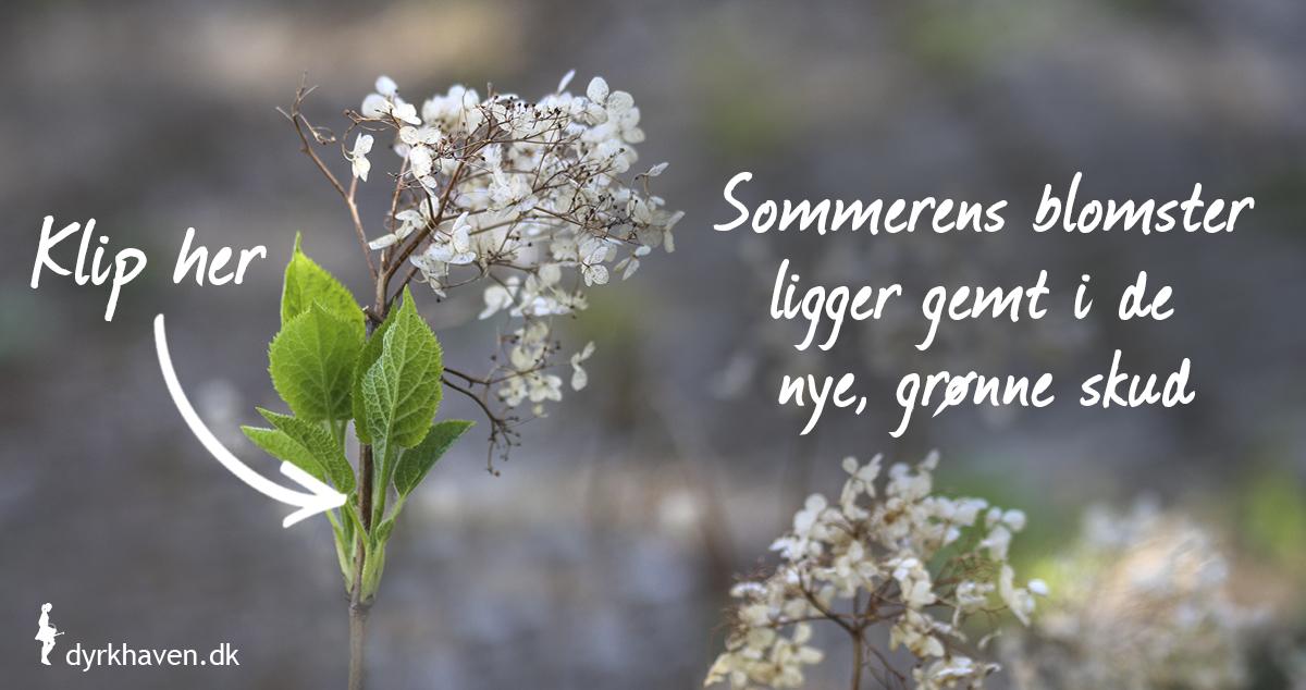 Klip et par centimeter over det øverste, grønne skud, når du fjerner de visne blomster på hortensia - Dyrkhaven.dk gør det nemt at dyrke have