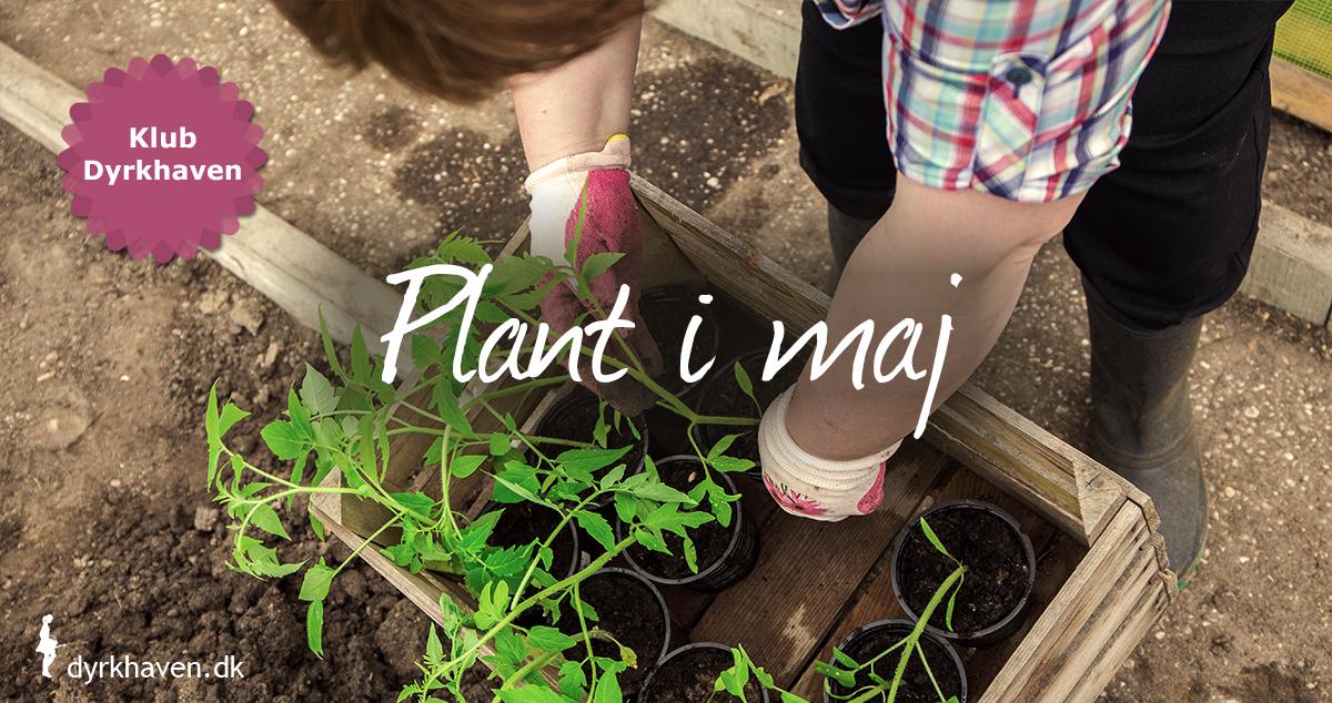 I maj kan man plante træer, buske og stauder, hvis det ikke er for tørt og sidst på måneden kan forspirede planter plantes i haven - Klub Dyrkhaven