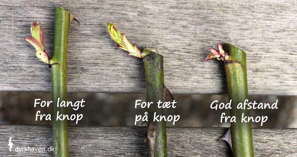 Lav et skråt snit ½-1 cm over en knop, når du beskærer roser . Dyrkhaven.dk gør det nemt at dyrke have