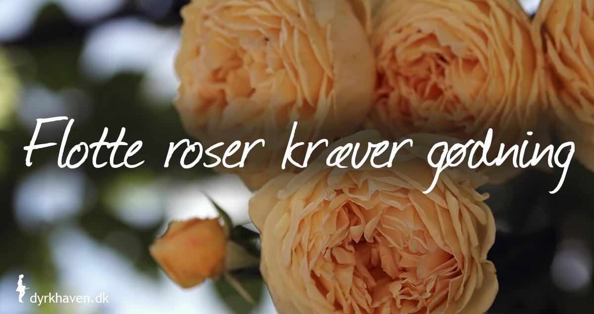 Roser skal have gødning efter beskæringen for at blive flottest - Dyrkhaven.dk gør det nemt at dyrke have