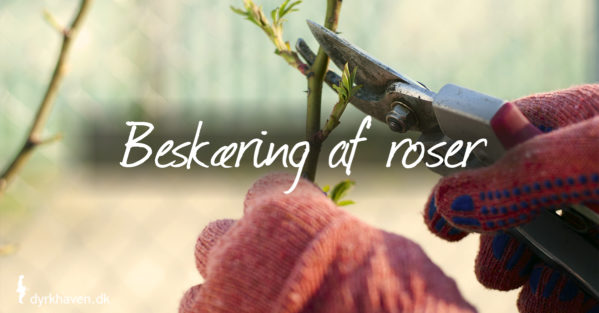 Lær hvordan du beskærer roser i 4 trin - Dyrkhaven.dk gør det nemt at dyrke have