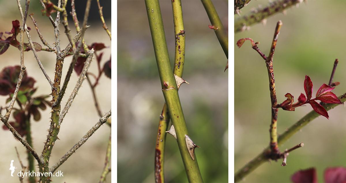 Når du beskærer roser, skal du fjerne alle syge, døde, knækkede og krydsende grene - Dyrkhaven.dk gør det nemt at dyrke have