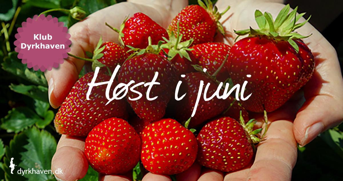 I juni kan der høstes jordbær og andre bær, krydderurter og bladgrønt, nye kartofler m.m. - Klub Dyrkhaven