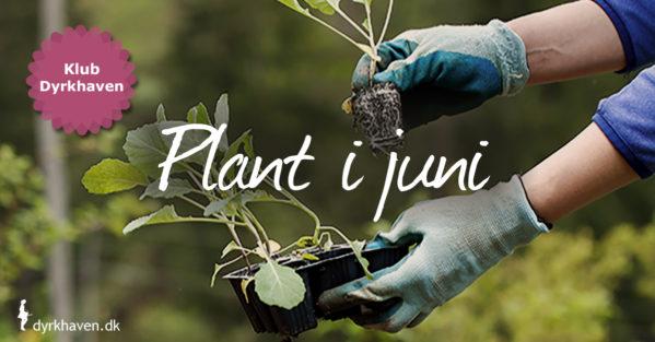 I juni kan varmekrævende udplantningsplanter plantes samt planter i potter, hvis du vander hele sommeren - Klub Dyrkhaven
