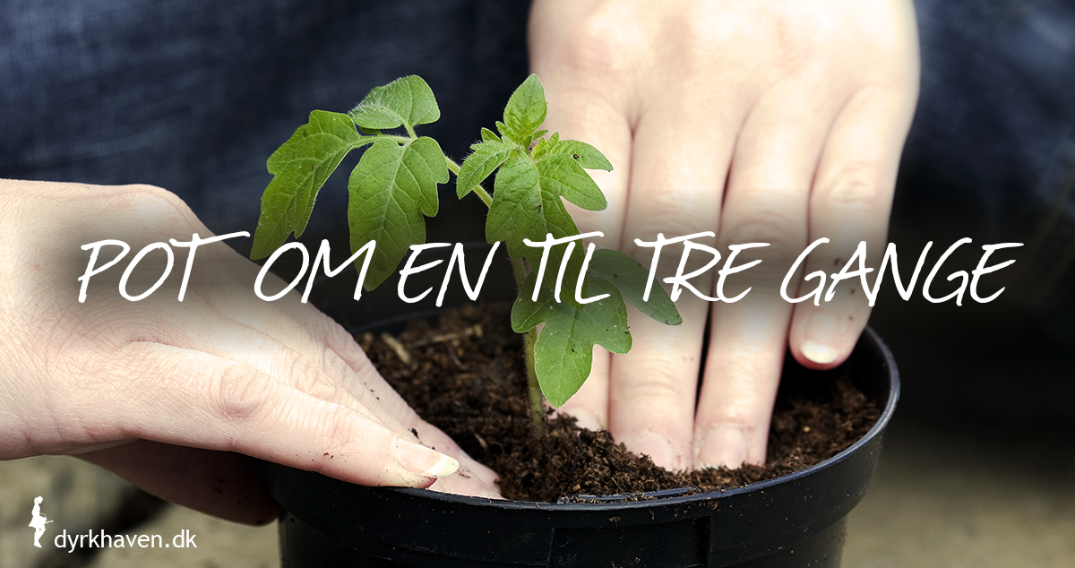 Forspirede tomatplanter skal potte om plantes om 2 til 3 gange - Dyrkhaven.dk gør det nemt at dyrke have