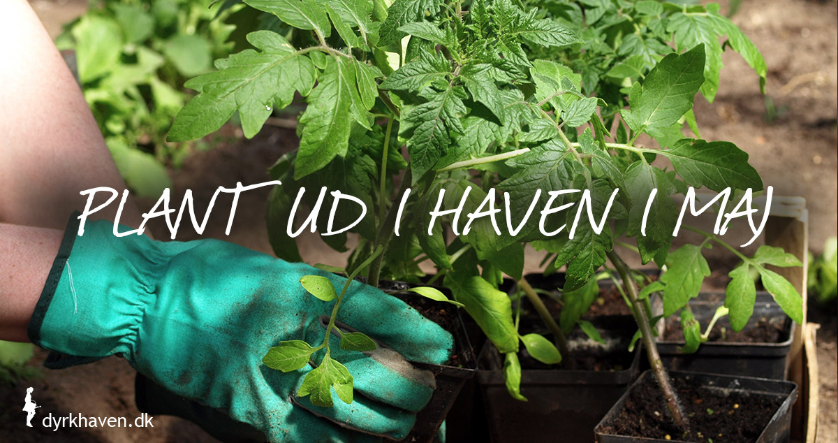 I maj kan du plante dine hjemmedyrkede tomatplanter ud i haven - Dyrkhaven.dk gør det nemt at dyrke have