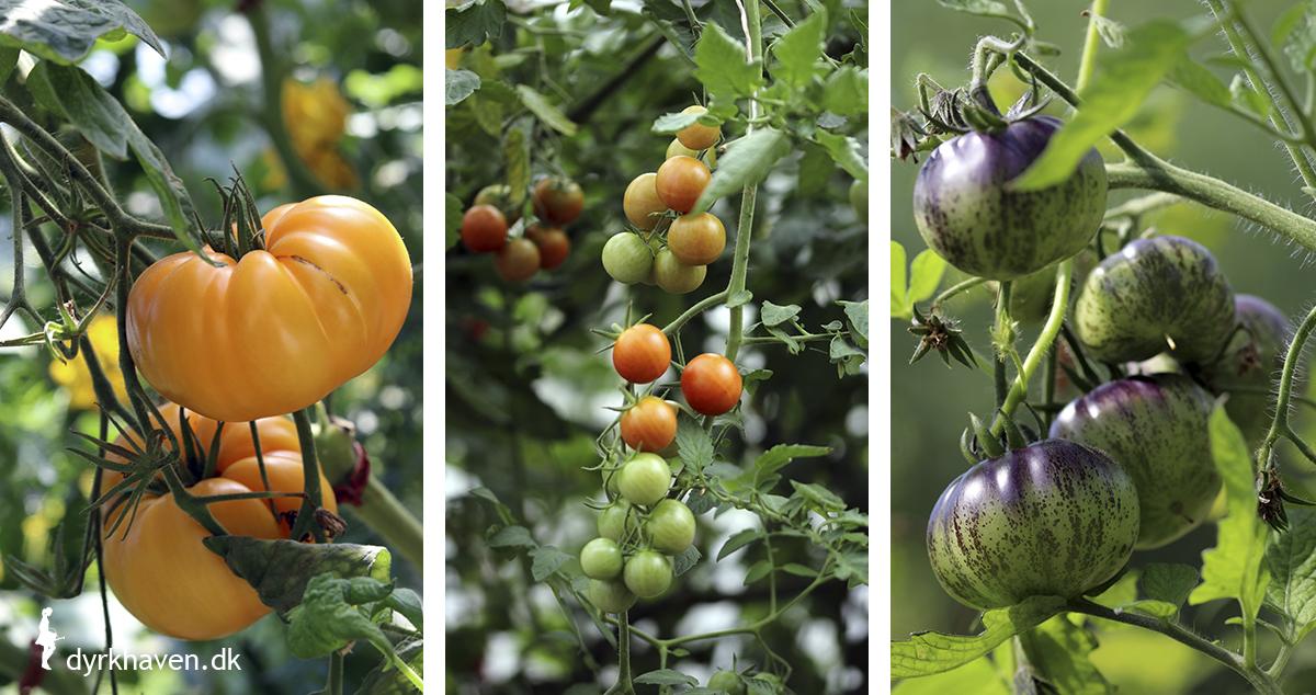 Der findes tusindevis af forskellige slags tomater sorter - Dyrkhaven.dk gør det nemt at dyrke dine have