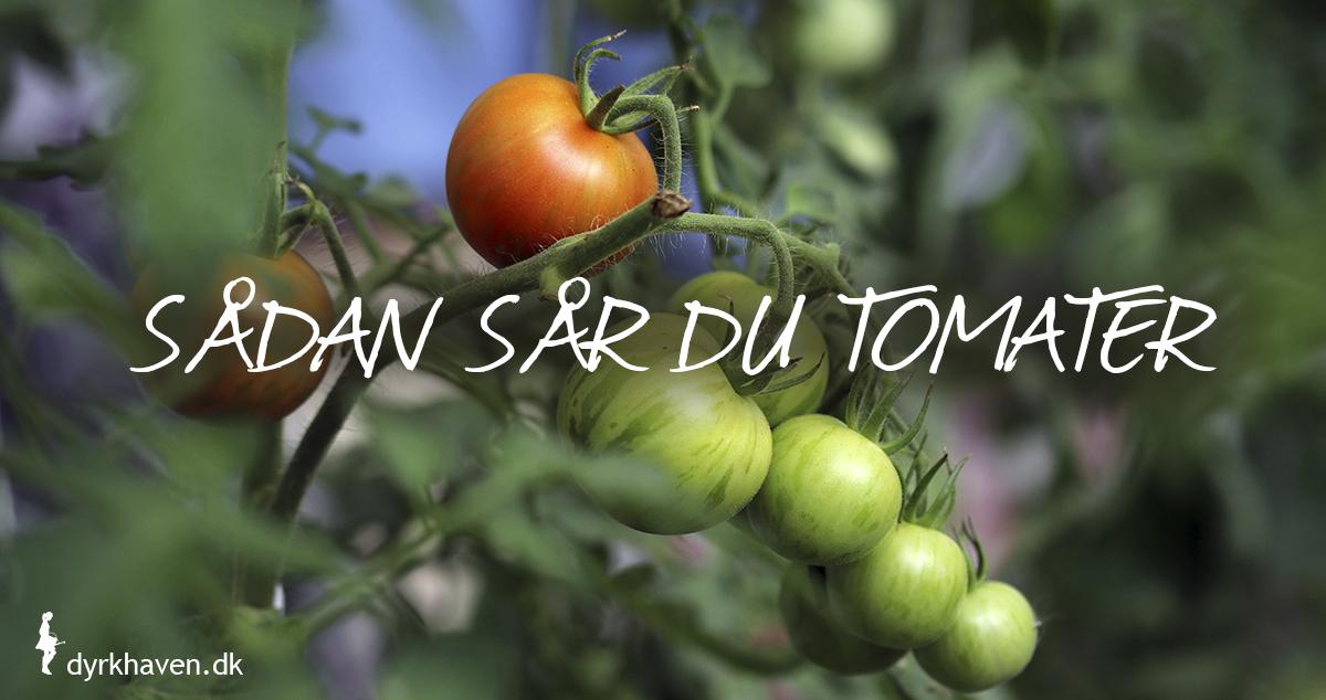 Sådan sår du tomater tomatfrø tomatplanter - Dyrkhaven.dk gør det nemt at dyrke have