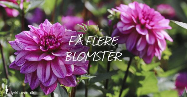 Få flere blomster på dahlia og georginer med tre tips fra Dyrkhaven.dk - Dyrkhaven.dk gør det nemmere at dyrke din have