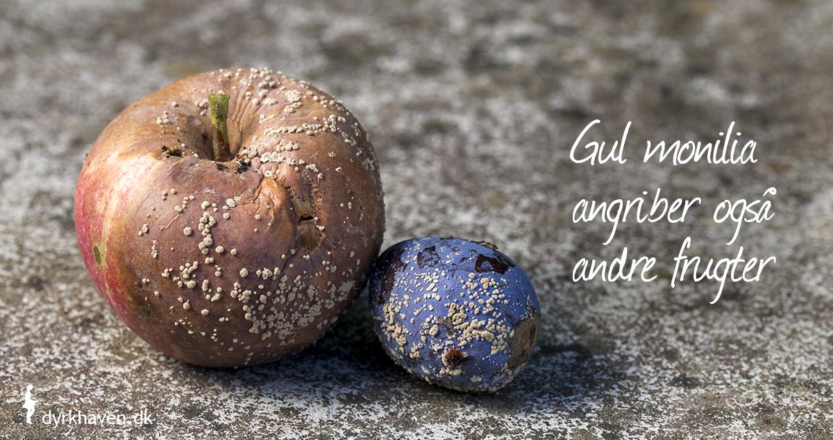 Gul monilia kan angribe æbler, pærer, blommer, ferskner, abrikoser, kirsebær og hassel - Dyrkhaven.dk gør det nemt at dyrke din have