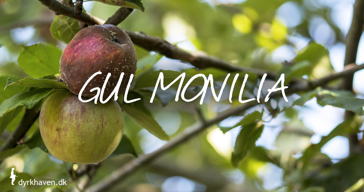 Rådne æbler, der falder af træet, er tit angrebet af svampesygdommen gul monilia - Dyrkhaven.dk gør det nemt at dyrke have