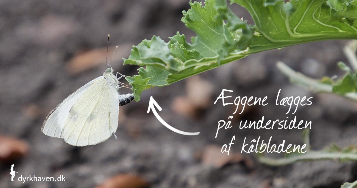 Kålsommerfugle lægger deres æg med kållarver - kålorme på undersiden af kålens blade - Dyrkhaven.dk gør det nemt at dyrke din have