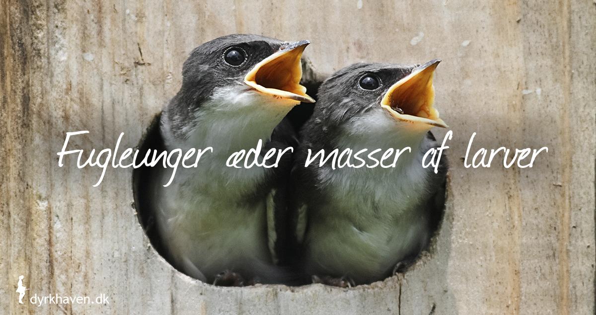 Fugle som mejser kan fodre deres unger med op mod 15000 larver i løbet af en sommer - Dyrkhaven.dk gør det nemt at dyrke din have