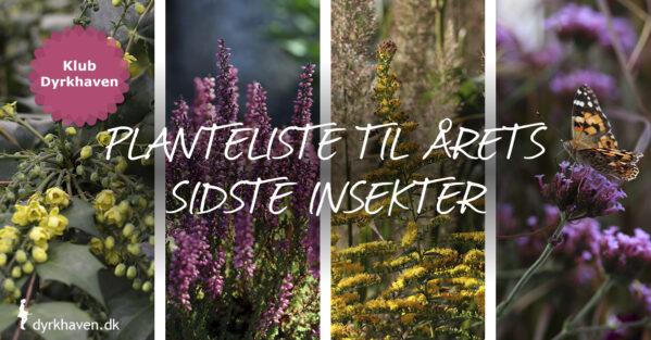 Hjælp de sene insekter i haven med planter, der blomstrer sent efterår og vinter - Dyrkhaven.dk