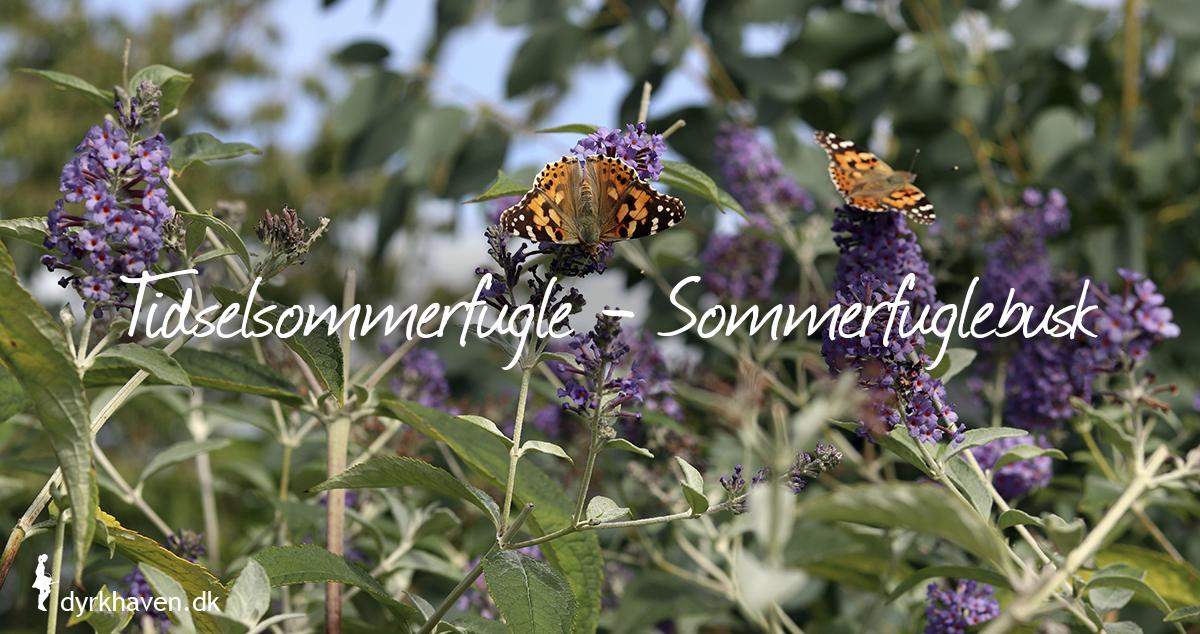 Lok flere sommerfugle til haven ved at plante en sommerfuglebusk - buddleja - tidselsommerfugle - Dyrkhaven.dk