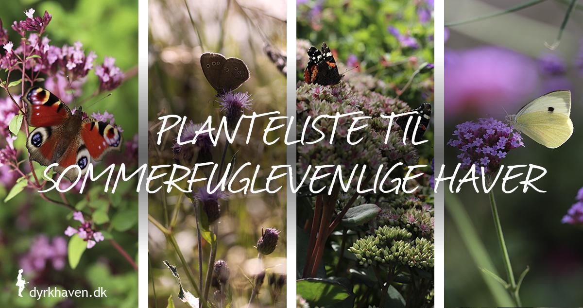 Gode planter der lokker sommerfugle til haven. Plant de her planter og få masser af sommerfugle - Dyrkhaven.dk
