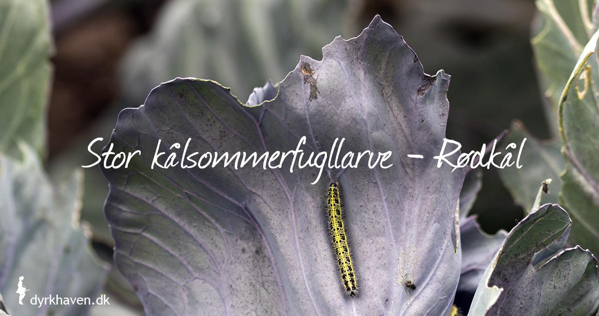 Kålsommerfuglens larver lever ofte på kål i køkkenhaven - Dyrkhaven.dk