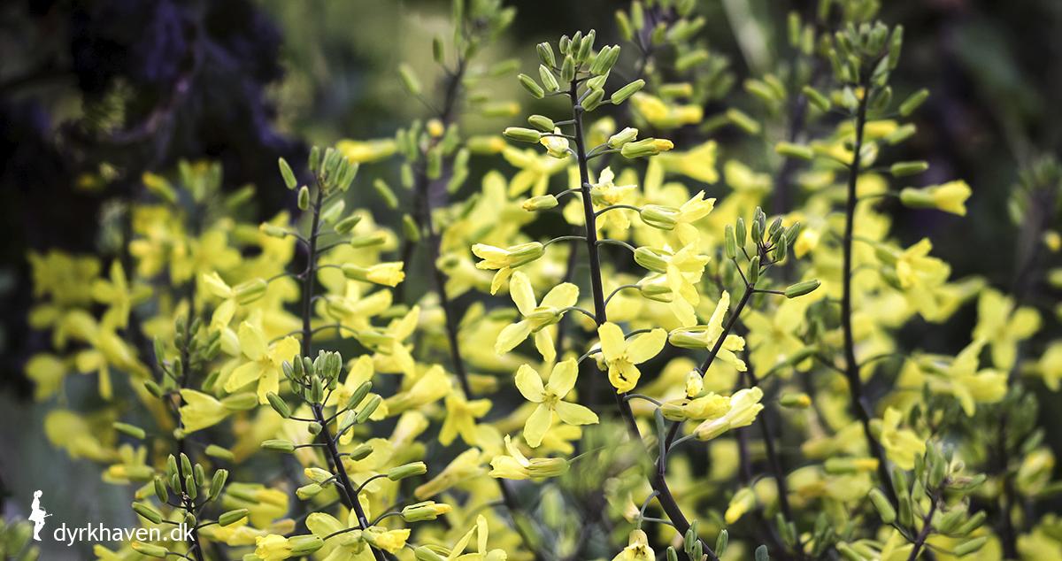 Om foråret blomstrer kål, der har stået i haven over vinteren. Kålblomster er spiselige - Dyrkhaven.dk