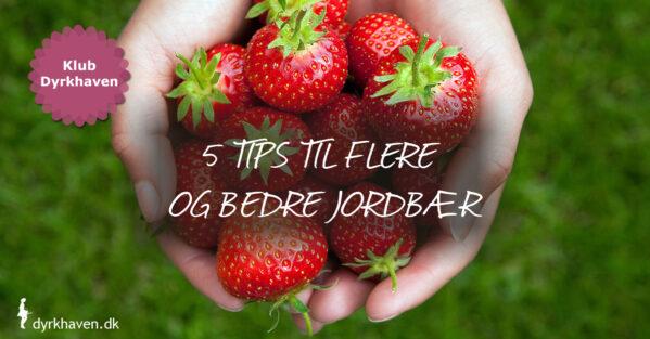 Få gode tips og tricks til at få flere og bedre jordbær - Klub Dyrkhaven gør det nemmere at dyrke din have