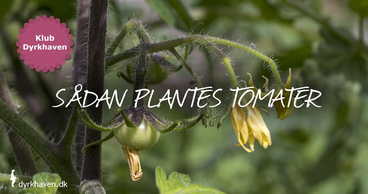 Få tips til at plante dine tomatplanter - Dyrkhaven.dk