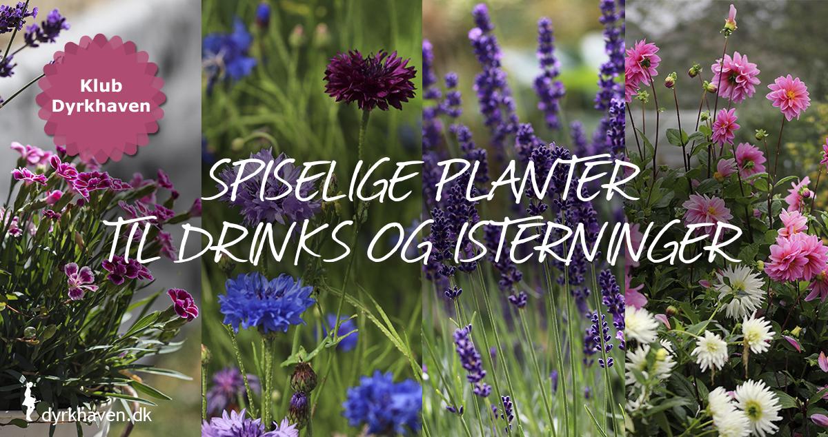 Få 12 forslag til spiselige blomster som du kan putte i drinks og glas - Dyrkhaven.dk gør det nemt at dyrke have