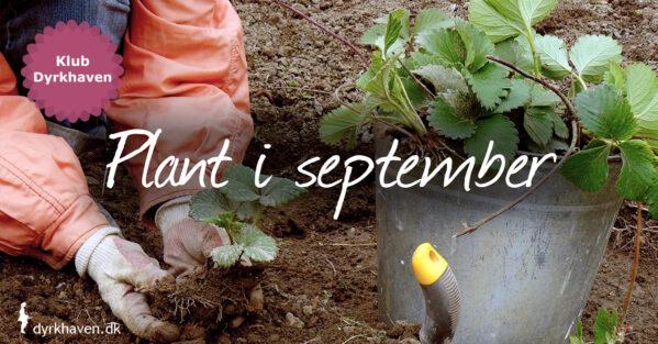 Efteråret er det bedste tidspunkt at plante på i haven, og september er ingen undtagelse. Der er en masser, som det er smart at plante nu - Klub Dyrkhaven